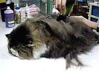 フサフサな猫ちゃんが毛狩りされてスベスベになる