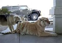 犬二匹と虎猫一匹が仲良くワンワンゴロニャンコ