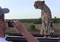 うわぁあああ!野生のチーターが車の上にあがってきたあぁぁぁ!