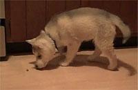 ドッグフードとたわむれる子犬ちゃん