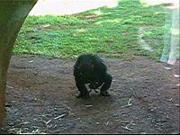 チンパンジーがカエルにフェラさせてる驚愕映像