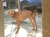 自分より体の大きな犬と交尾したくて必死な犬