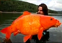 超・巨大な金魚がアメリカで続々と見つかる