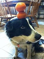 犬のゼルダは頭に物を乗せるのが得意です