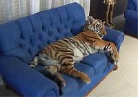 ソファを占領するトラ猫