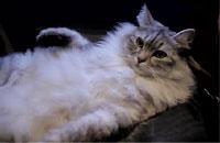 ひざ掛けみたいでかわいい会社モフ猫