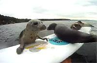 サーフボードに乗り上げようと奮闘するアザラシ