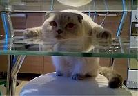 ガラステーブルの間に挟まってる猫