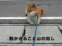 柴犬の帰りたくないアピール