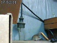 自分より大きなクラッカーを巣に持って帰りたいネズミvs段差