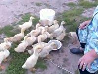 ピヨピヨ歩く姿が可愛い!カモやアヒルのコンピレーション動画