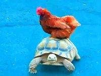 動物たちの乗り物!?リクガメが動物を乗せて歩いてる動画まとめ