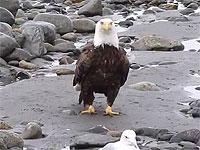白頭鷲のウォーキング風景