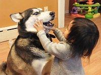 犬が好き過ぎる幼女とちょっと困ってるシベリアンハスキー