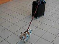 小さな犬が自分より大きなキャリーケースを引いていた