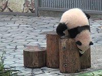 ドジっ子な子パンダたちが転がり落ちる総集編がとても可愛い