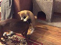 ダックスに寝床を奪われた子猫の攻防戦