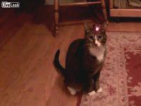 ネコの頭にレーザーポインターを着けてみた結果www