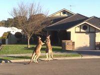 道路でカンガルーが殴り合いの喧嘩しててワロタwww