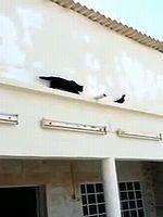 黒猫の襲撃を華麗に回避するイケメン鳩くん