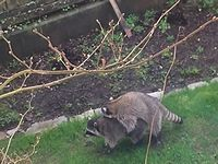 アライグマが庭に遊びにきたよ! でも様子がおかしい...