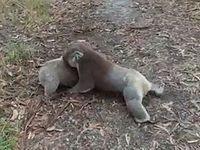 コアラの喧嘩がレスリングにしかみえない件について