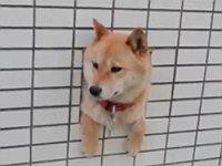 壁から顔を出している柴犬が可愛すぎる件