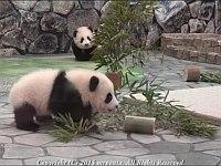 【和歌山】飼育員の後ろをついていく双子のパンダが可愛すぎる