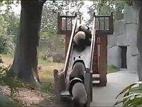 滑り台でたどたどしく遊んでいるパンダたち