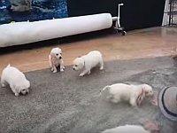 生後5週間の子犬たちが生まれて初めて泳ぐ姿が可愛すぎる件