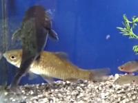 自分の大きさほどある魚を食べるナマズ