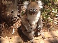 登っていた木をオスのコアラに奪われ、泣いちゃうメスのコアラ