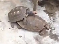 交尾中の亀のチンコはとっても大きい