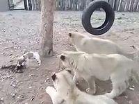 3頭の子ライオンを相手にエサ争いで勝利する子犬が度胸ありすぎるwww