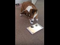 コーギーが犬用のゲームに夢中になっていると背後からwww