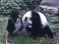 動物園に侵入した男がパンダに取り押さえられるハプニングwww