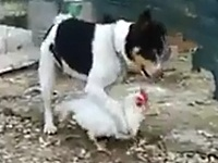 ニワトリを捕まえて交尾しようとするワンちゃん