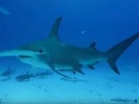 【VR】マイアミの真っ青な海の中で...本物のサメに...出会ったぁ~