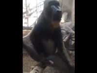 動物園にきたお客さんにオナニーを見せるお猿さん