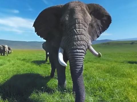 【VR】広大なサバンナを悠々と歩くアフリカゾウが目の前に迫ってくる!