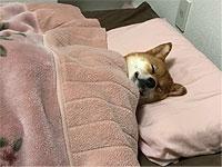 ( ˘ω˘)スヤァ...ワンちゃんが毛布をかぶって安らかにねんねする