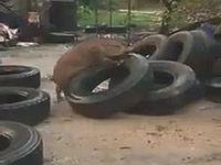 野生のイノシシくんがタイヤを襲って無差別レイプ!