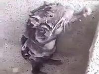 南米ペルーで人間のように身体を洗うキレイ好きのネズミが目撃される!