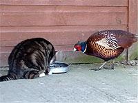 猫のエサを狙おうとする大胆なキジ