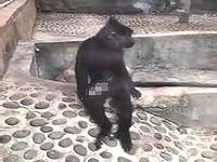 中国でチンコプターを会得した猿が出没!