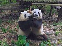 【VR】ジャイアントパンダを間近で見られる!パンダ基地飼育風景