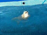 プールの壁にタッチすると背泳ぎになってしまうワンちゃん