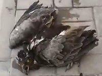 熱中症?!暑さにやられて気絶していた鳥に水を与えてみたら......