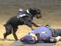 急病人を心肺蘇生できるように訓練された警察犬が可愛い(∪^ω^)