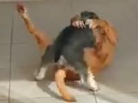 【犬の発情】正常位で愛し合うシュナウザーとピットブル